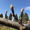 3月23日(梨の枝の風対策)