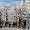 祇園白川の桜、満開。2018年春の光景。