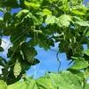 無農薬野菜作り激闘の夏 ナスの自家採種方法