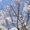 お花見日和の日曜日、明治神宮月次歌会へ
