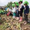 BABAファームで玉ねぎの収穫(すみれ組)