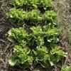 1ヶ月前に植えたレタスが、こんなに大きくなりました。