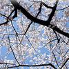 2014年に撮った桜の写真をデジタルからリアルに