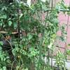 大葉とミニトマトの成長記録⑥