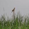 飛ぶオオヨシキリ