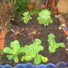 家庭菜園の野菜達。