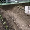 菜園プロジェクト 秋 大根の芽がでました