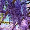 亀戸天神の春:藤棚