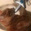 猫は蛇口から水を飲むのが大好きみたいです