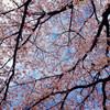 桜のブローチ