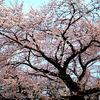 丹後半島で桜を見るなら?花見スポットをご紹介します
