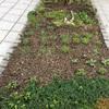マンションの花壇の植え替え
