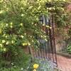 5月のバラたち