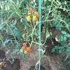 庭の家庭菜園のきゅうりとミニトマトの収穫