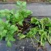 芽かきと土寄せをしました(中間報告②:ジャガイモ)