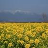 琵琶湖大橋近くの「なぎさ公園」菜の花