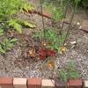 挿し木したトマトと犬のエアコン温度