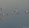 ベリーズ 街上空の White Ibis (ホワイト イビス)