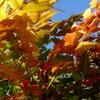 ヒイラギナンテンの紅葉?