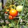 新しいことにチャレンジした夏。秋に向けて片付け 水耕栽培