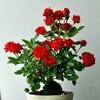 薔薇の小品盆栽