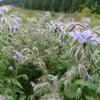 青山ハーブガーデンで見た植物③ ボリジ