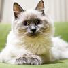 FIPという怖い病気で愛猫を亡くしました