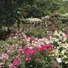 京成バラ園のその他のバラ達