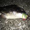 チニング釣果No.1 夜釣りでワームのズル引きアクション