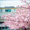 【248】江戸川平井 河津桜