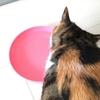 【愛猫日記】毎日アンヌさん#7