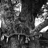 八劔神社(やつるぎじんじゃ)の大銀杏