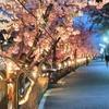 散歩 松戸神社と芝公園の河津桜