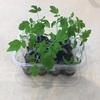 ミニトマトの苗が大きくなりました。