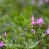 春の七草ではないホトケノザは本当に有毒か?
