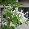 この花、ナンジャモンジャというよ。変だね。