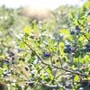 夏の果物狩りといえばブルーベリー!摘んで楽しい、食べて美味しいブルーベリー!栄養価も満点!