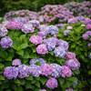 農道を彩る紫陽花 開成町 #6