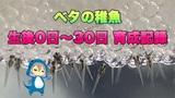 【ベタの稚魚を飼育】生後0日~30日の記録