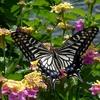 ランタナのアゲハチョウ