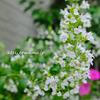 バラにあう草花【カラミンサ】