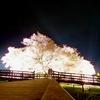 第287回blog♪夜桜