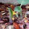 宿根草ギボウシの芽が出たので食べちゃおかな。学名ホスタの発芽は勢いがある。