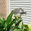 アゲハチョウを本格的に育てようという話【小さいですがアゲハチョウの幼虫が出てきます】