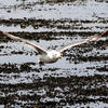 ウミネコ飛翔