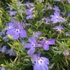 青い花が無数に咲くアズーロコンパクト(スカイブルー)! 摘芯・切り戻しを繰り返してふんわりと!
