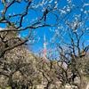 銀世界で梅観賞【芝公園】東京のオススメ梅観賞スポット
