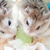 【ロボロフスキー編】かわいい世界最小ハムスター!飼う前に知っておいてほしいこと&なつかせ方