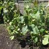 [家庭菜園2020]夏はまだ終わらない、きゅうりを救え!