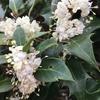 柊(ヒイラギ)の白い花♪